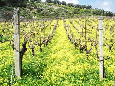 de mooie regio onder Heraklion met de vele druivenvelden voor de wijnproductie