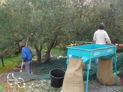 De olijven van Kreta. een van de belangrijkste producten van het eiland