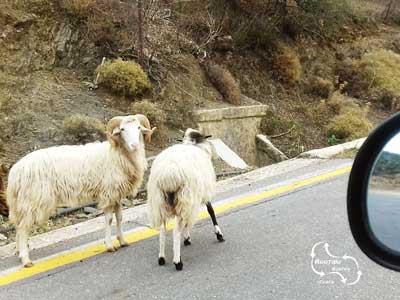schapen en geiten lopen los over de weg tijdens de routaki route 52 naar Margarites