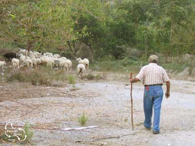 the shepherd is taking care of his sheep somewhere on Crete.