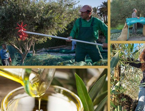 BLOG | November – the month of the olive harvest.