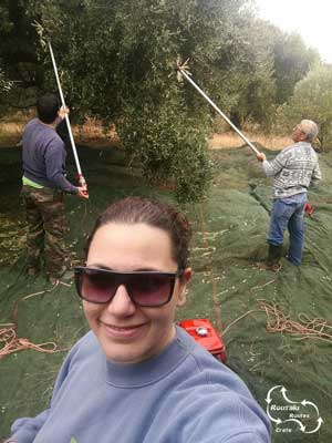 all cretans are working in the olive fields to harvest the olives