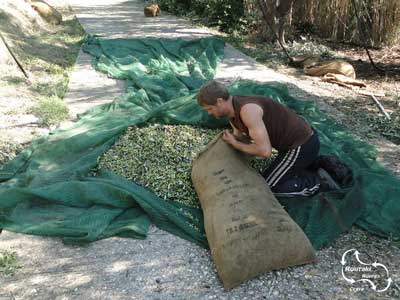 putting all the olives in big bags to bring them to the factory
