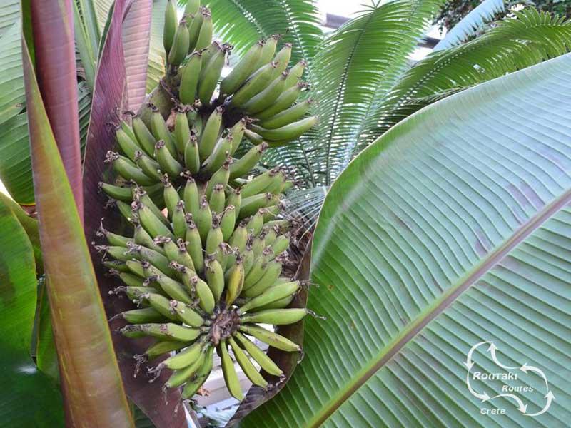 bananen kassen vind je veel in de omgeving van Malia
