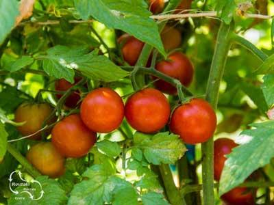 de landbouw sector produceert heerlijke tomaten