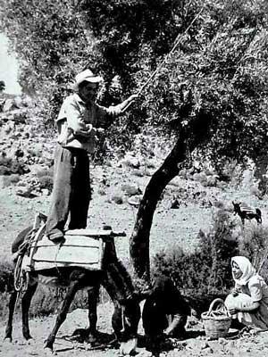 de olijvenpluk vroeger - met een stok en staand op een ezel