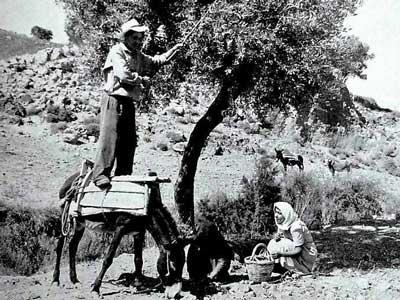 vroeger was de olijvenoogst een nog grotere klus - alles werd met de hand gedaan
