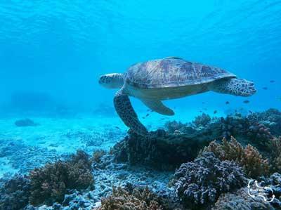 caretta caretta schildpadden maken zo'n 350 nesten op het strand van Rethymno