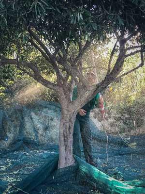 boom voor boom worden de olijven uit de boom geslagen