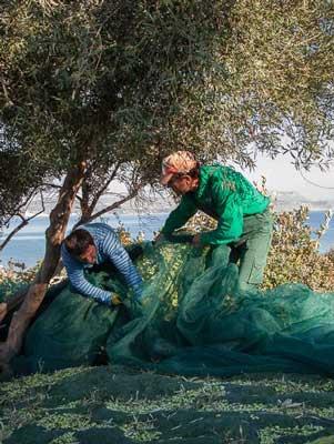 zwaar werk om via de netten alle olijven te verzamelen
