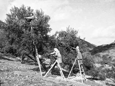 allemaal in de weer bij de olijvenoogst op Kreta