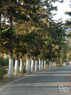 Witte boomstammen op Kreta, langs de weg en op terrasjes.
