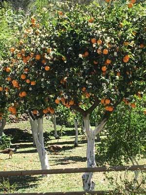 witte boomstammen, ook bij sinaasappelbomen