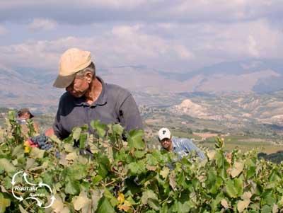 vele boeren die met veel liefde hun druiven telen