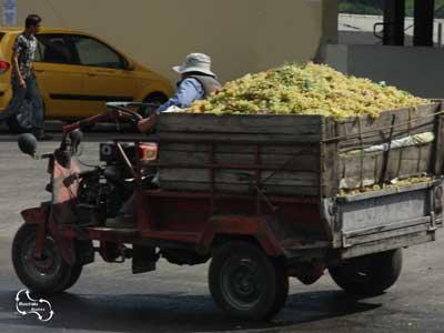 transport van de druiven naar de wijnpers voor de maak van Kretenzer wijnen